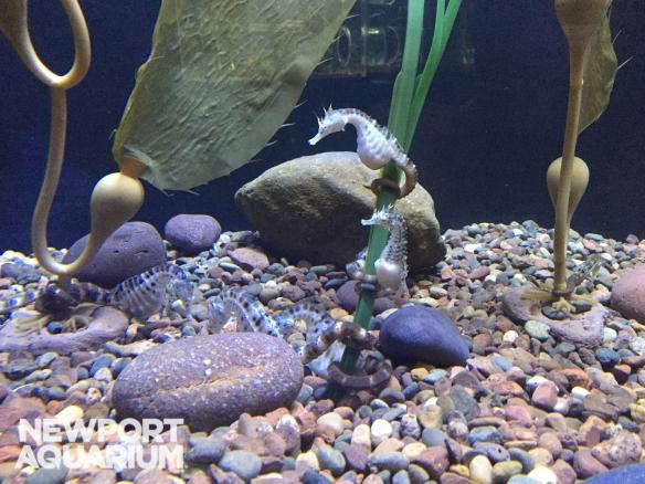 Big Bellied Seahorses (2)