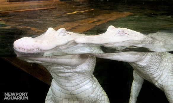 White Gators